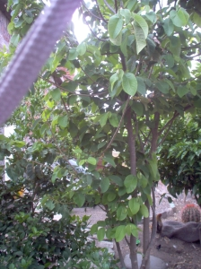 Our cherimoya tree in the back yard is watered by a pipe that brings wash water from the second floor to the tree roots.