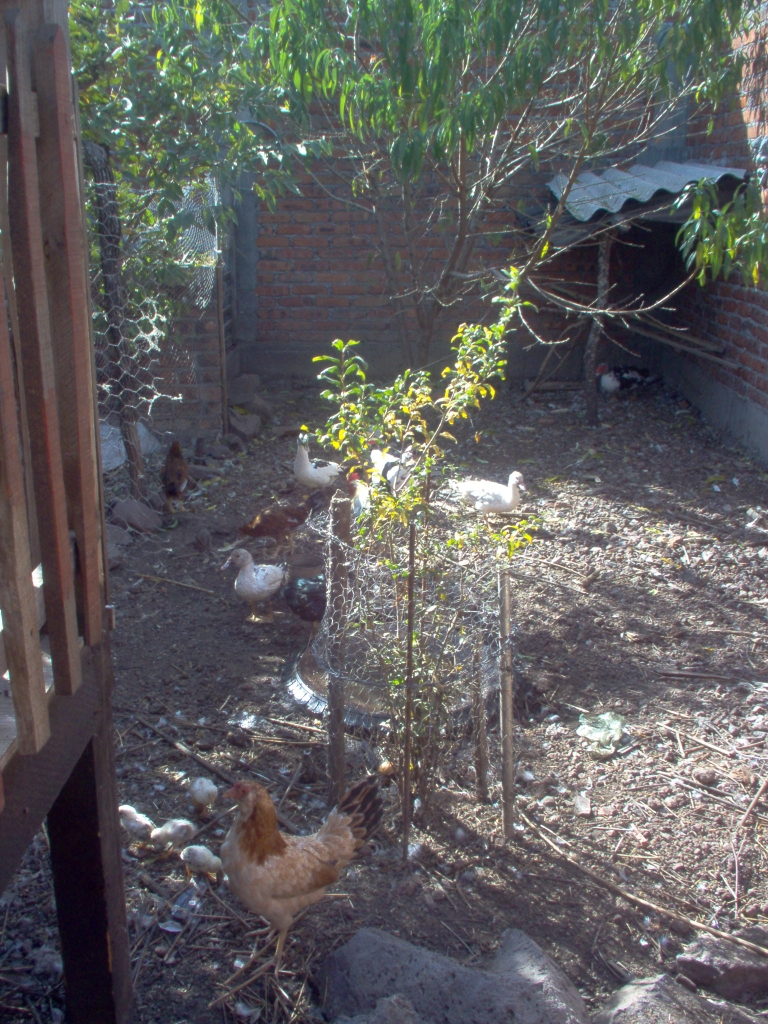 chicken corral