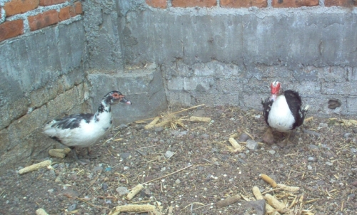 mr & mrs muscovy