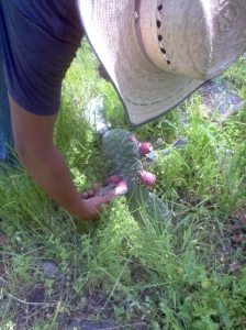 Cutting a small section of the penca (leaf) will allow you to get at the tunas.