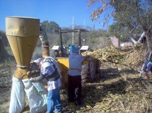 Moliendo rastrojo.  Milling the corn stalks for animal fodder.