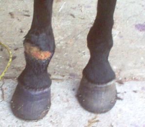 beauty's leg