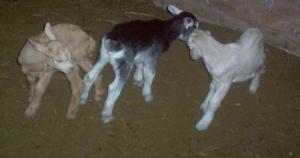 These goats are less than a week old and already playing bump heads!