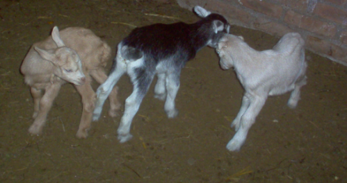 bump head goats