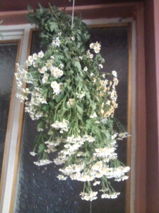 Cut and hung feverfew drying for tea.