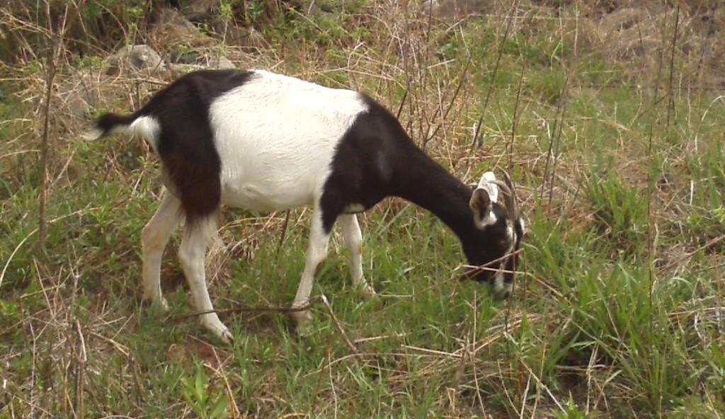 Vaca the goat