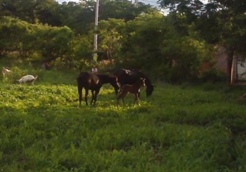little horse family