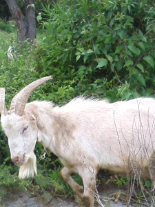 Stinky Chivo, little ears, horns, campanitas, not white and a twin son from a mother who was herself a twin and a father who was one of 4!