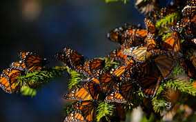 The monarch butterfly migrates annually to central Mexico.