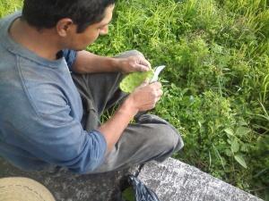 dethorning cactus