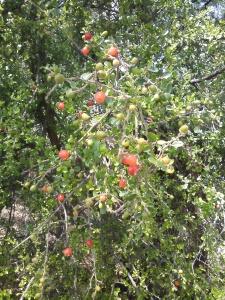 Acebuche berries