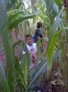 searching for corn