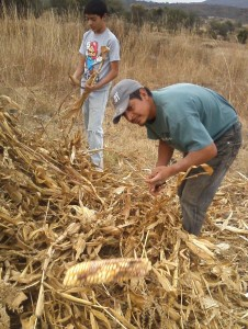A day in the fields removing the dried corn ears from the stalks.