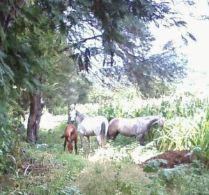 Caught in the act!  These horses happily munching the corn crop belong to the horse guy!