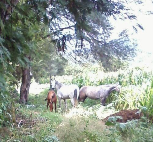 loose horses