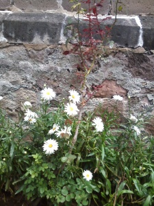 Daisies outside the church en el centro of Cuitzeo.