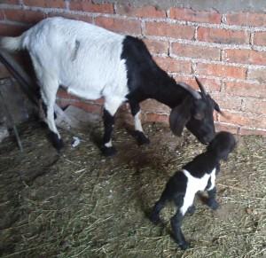 vaquita and skunk