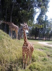 Young giraffes.
