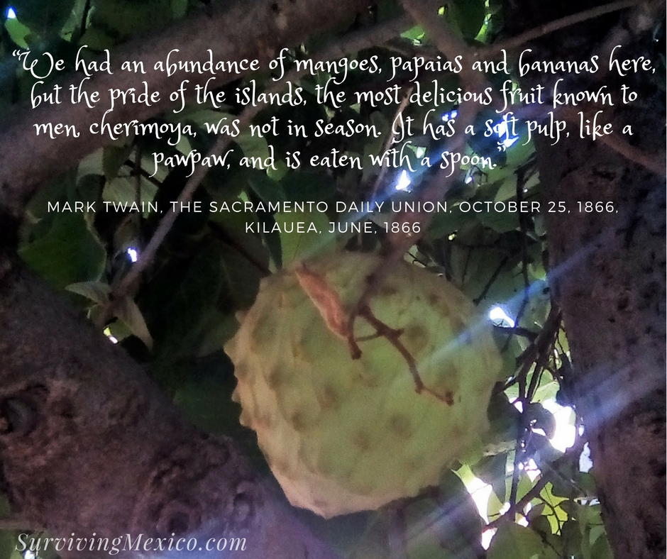 """We had an abundance of mangoes, papaias and bananas here, but the pride of the islands, the most delicious fruit known to men, cherimoya, was not in season. It has a soft pulp, like a"