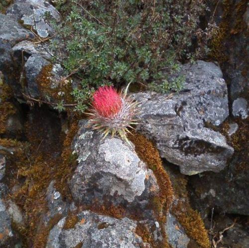 fuzzy rock flower