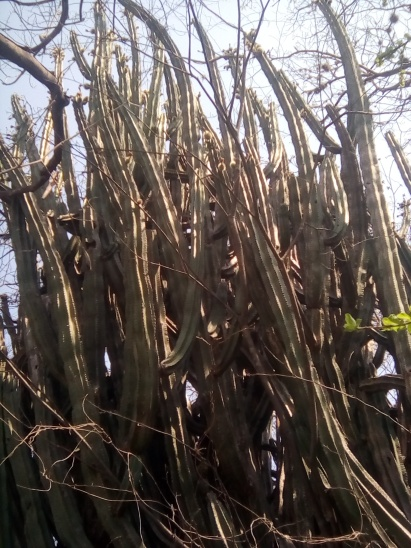 These are the cactus that produce pitayas.
