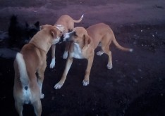 Puppy greeting the yappy dogs.